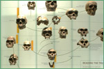 American Museum of Natural History, hominids