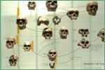 American Museum of Natural History, hominids