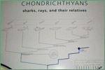 American Museum of Natural History, chondrichthyans