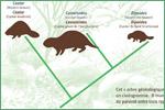Canadian Museum of Nature, beavers