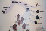 Denver Museum of Nature and Science, primates