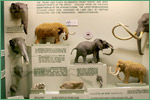 Exhibit Museum of Natural History, University of Michigan, elephants and close relatives