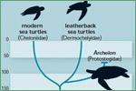 Florida Museum of Natural History, turtles