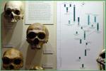 Harvard Museum of Natural History, hominids