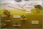 University of Kansas Natural History Museum, extinct cats